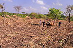 In northern Uganda, draft animals are in short supply, but will be an increasingly important aid to help farmers till their fields.  Most farmers returned to their land in the last three years, after languishing in government camps during the years of terror by Joseph Kony's Lords Resistance Army (LRA).   Farmers generally have small plots and need to pool their resources to acquire draft animals.   It may be an increasingly important part of the growing cotton industry.