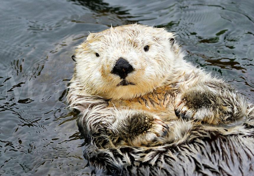 California sea otter, Enhydra lutris, Monterey, CA. USA.<br />