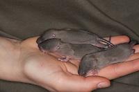 Aufzucht von Wanderratten, Wanderratte, Wander-Ratte, Ratte, verwaiste, wenige Tage alte, noch blinde Ratten werden von Menschenhand groß gezogen, Rattus norvegicus,