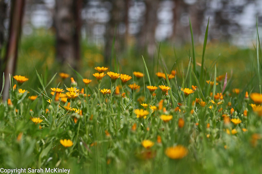 Small orange flowers growing near a row of grapevines at Mondavi Vineyard near Napa in Napa County in Northern California.