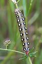 Caterpillar of Bedstraw hawk moth (Hyles / Celerio galii) Nordtirol, Austrian Alps, Austria, July.