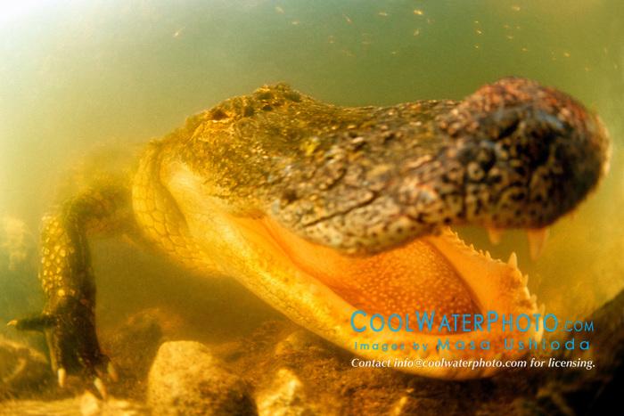 American alligator, .Alligator mississipiensis, .Everglades National Park, Florida