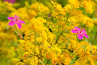 131970003 wil purple geranium geranium caepitosum and tall goldenrod solidago ssp. wildflowers in bloom in southern utah.
