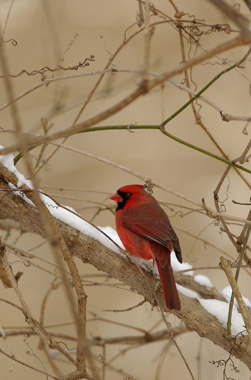 A male red cardinal poses in a Winter Setting