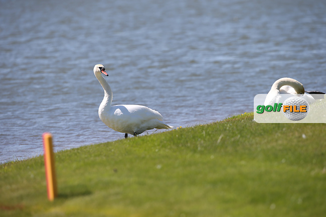 Swans on the 9th fairway edge during Round Two of the 2015 Nordea Masters at the PGA Sweden National, Bara, Malmo, Sweden. 05/06/2015. Picture David Lloyd | www.golffile.ie