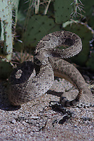 Western Diamondback Rattlesnake seen coiled and ready to strike, Seen in southern Arizona's Saguaro National Park east of Tucson.