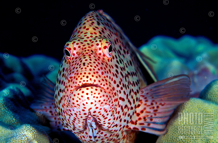 The Blackside Hawkfish ( Paracirrhites forsteri). One of Hawaii's more curious reef fishes. Hawaiian name is Hilu pili-koa.