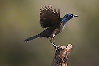 Common Grackle (Quiscalus quiscula), adult male landing, Sinton, Corpus Christi, Coastal Bend, Texas, USA