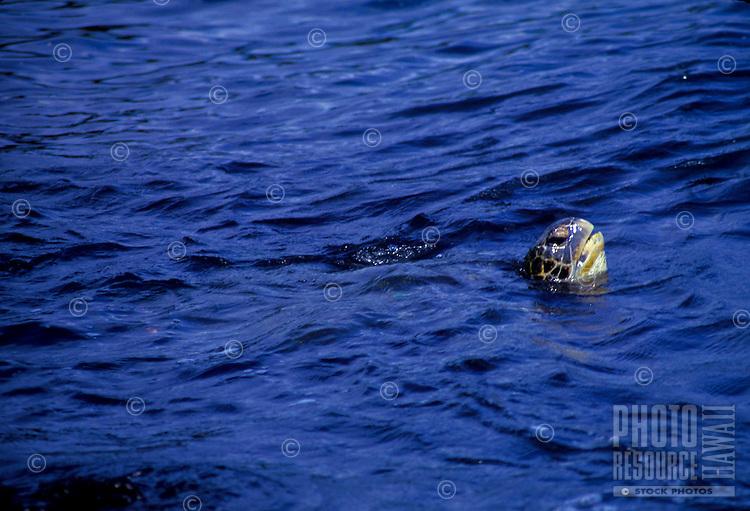 Hawaiian Green sea turtle popping its head above water