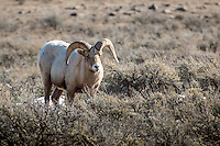 Big Horn Sheep in Grand Teton National Park in Winter.