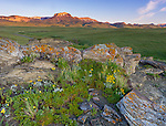 Teton County, Montana: Ear Mountain and peaks of the Front Range at dawn with flowers in a rocky outcrop