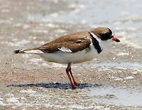 Adult semipalmated plover in breeding plumage