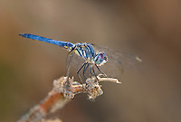 339900019 a wild male blue dasher dragonfly pachydiplax longipennis perches on a dead plant stalk at five mile landing in topock marsh havasu national wildlife refuge arizona united states
