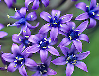 Cuban Lily (Scilla peruviana).  VanDusen Botanical Garden, Vancouver, BC