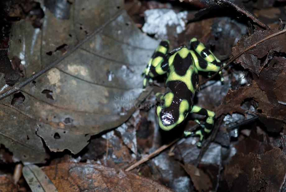 Green and Black poison dart frog (Dendrobatus auratus)