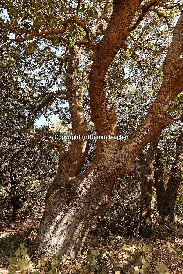 The Golan Heighta. Mount Tabor Oak (Quercus ithaburensis) at the Circassian cemetery near Marom Hagolan