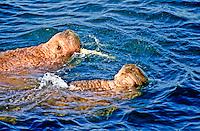Walrus, Round Island, Alaska