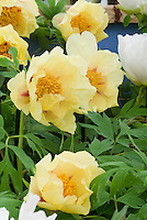 Paeonia Golden Bowl peonies are a yellow, single, midseason, lutea hybrid tree peony