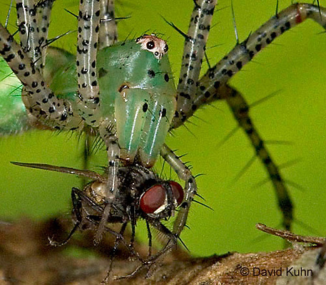 "0515-07oo Green Lynx Spider  Consuming Fly - Peucetia viridans  ""Eastern Variation"" - © David Kuhn/Dwight Kuhn Photography"