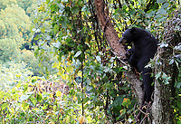 Stock photo: Mother and baby black bear climbed on the top of a tree in a valley of the great smoky mountain national park.