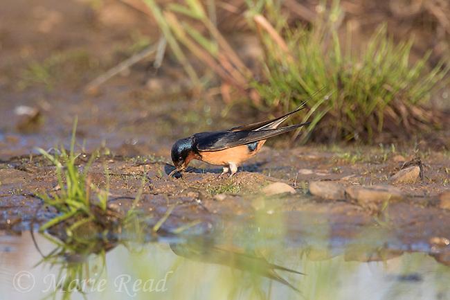 Barn Swallow (Hirundo rustica) picking up mud as nesting material, New York, USA
