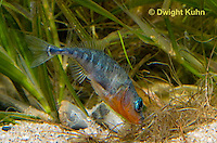 1S22-555z  Male Threespine Stickleback shaping nest by pushing plant materials with it mouth, mating colors showing bright red belly and blue eyes,  Gasterosteus aculeatus,  Hotel Lake British Columbia