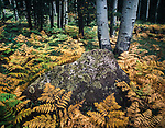 Bracken Ferns,Autumn,Aspen Trees,Coconino NF,San Francisco Peaks Arizona