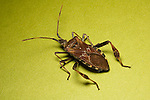 Parent bug. Elasmucha lateralis