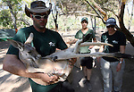 Three kangaroos by the names of Elinor, Bar and Jennifer were transferred Today from Gan Guru farm near Kibbutz Nir David in Israel to the zoo of Qalqilya at the Palestinian National Authority. Tuesday, July 28, 2009. Photo By : Dror Artzi / Jini