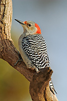 Red-bellied Woodpecker in winter, Melanerpes carolinus