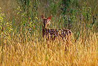 White tailed deer fawn, Odocileus virinianus, highlighted by the afternoon sun snacks on the tall grass in the field looking over her shoulder