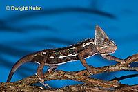 CH39-526z  Male Veiled Chameleon, Chamaeleo calyptratus