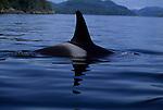 The dorsal fin of an Orca.