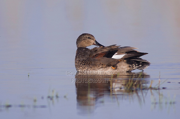 Gadwall, Anas strepera, male preening, National Park Lake Neusiedl, Burgenland, Austria, April 2007