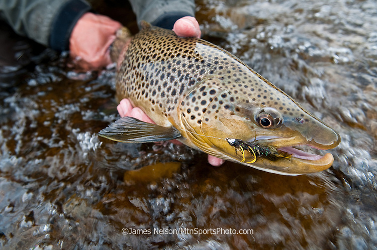 A fly fisherman holds a male brown trout caught using a streamer on the South Fork of the Snake River, Idaho.