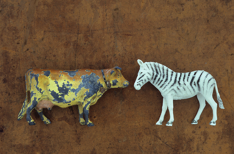 Scratched lead model of brown and golden cow standing nose-to-nose with plastic model of zebra on scuffed leather background