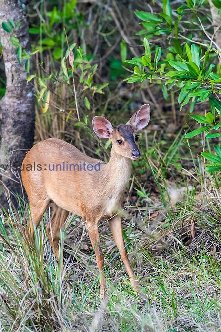 Red Brocket (Mazama americana), Pantanal, Mato Grosso, Brazil.