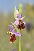 Ophrys fuciflora subsp apulica - Gargano Peninsula, Italy