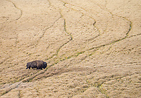 A bull bison blazes his own trail through the autumn grasses of Hayden Valley.