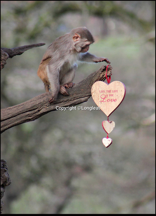 BNPS.co.uk (01202 558833)<br /> Pic: IanTurner/Longleat/BNPS<br /> <br /> One monkey runs off with a romantic momento..<br /> <br /> The likelihood of these diners sitting down to enjoy a quiet intimate meal for Valentine's Day was always going to be a big ask.<br /> <br /> The prospect of romance was soon replaced with antics of mayhem when the excited troop of macaque monkeys at Longleat Safari Park turned the candlelight supper into a bunfight.<br /> <br /> Within seconds of setting up the special romantic banquet complete with red roses and candelabra in their enclosure at the Wiltshire attraction, the guests had stripped the table bare and made off with the contents.