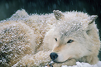 Gray Wolf (Canis lupus) resting on snowy winter day.