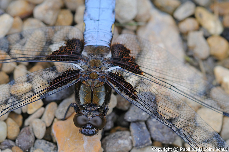 Broad-bodied Chaser Dragonfly (Libelulla depressa) close-up of male head and thorax from above, Oxfordshire, UK.