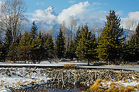 Beaver Dam, Grand Teton National Park, Wyoming.  Late Fall.