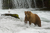 Male brown bear in pursuit of salmon as they journey up stream at Brooks River, Brooks Falls, Katmai National Park, Brown Bear