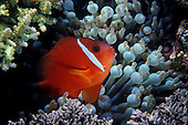 Clown Fish protecting an Anemone