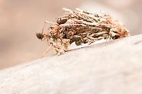Wood ants (Formica rufa) attacking bagworm moth pupa. Dorset, UK.