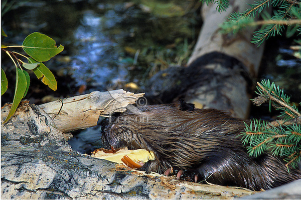 Beaver (Castor canadensis) taking a bite out of a fallen cottonwood tree, Western U.S. Fall.