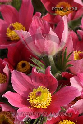 Gisela, FLOWERS, photos(DTGK1378,#F#) Blumen, flores, retrato
