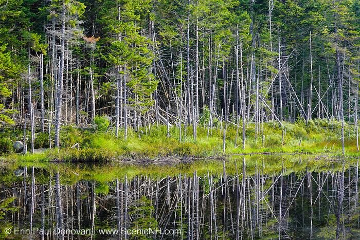 Reflection of softwood forest in a small pond along Cherry Mountain Road in the White Mountains, New Hampshire USA