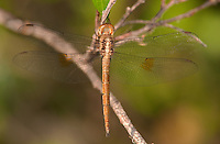 389300003 a wild evening skimmer dragonfly tholymis citrina perches on a small branch at santa ana national wildlife refuge rio grande valley texas united states